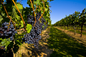 Wineries near Oak Grove Plantation