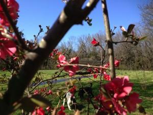 oakgrove japonica